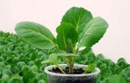 Когда высаживать рассаду капусты