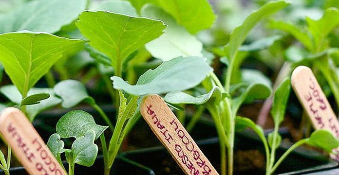 Когда сажать капусту на рассаду
