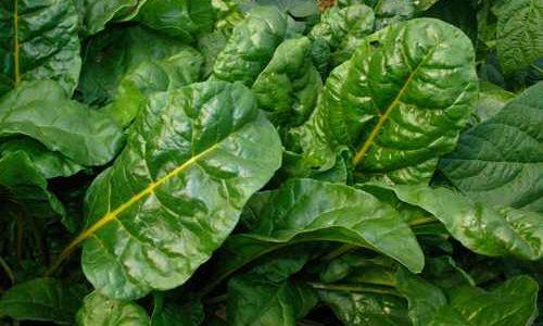 разновидности листовой свеклы