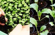 Правильная пикировка рассады капусты
