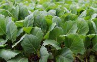 Посадка капусты семенами на рассаду в домашних условиях