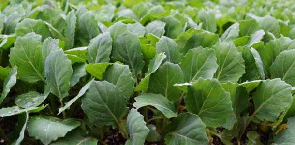 посев семян капусты на рассаду