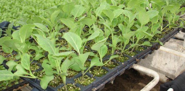 белокочанная капуста рассада выращивание