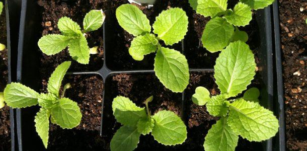 выращивание рассады пекинской капусты