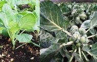 Рассада брюссельской капусты: посев, выращивание и уход