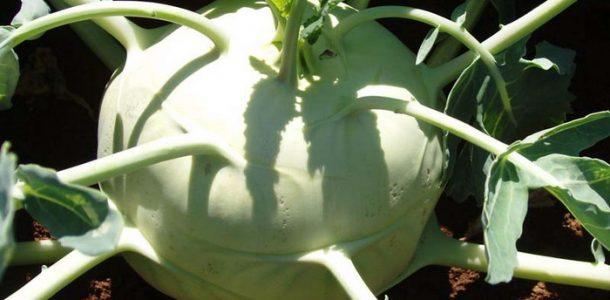 сорта капусты фото с названием кольраби
