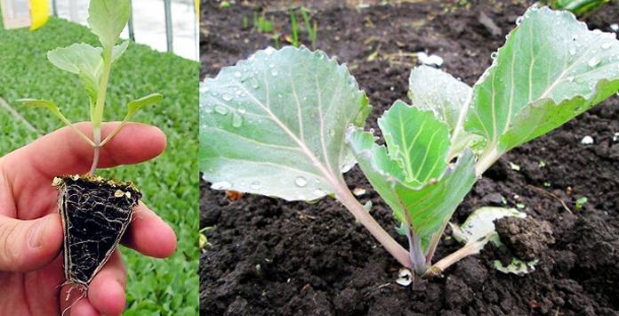 Как ухаживать за рассадой капусты