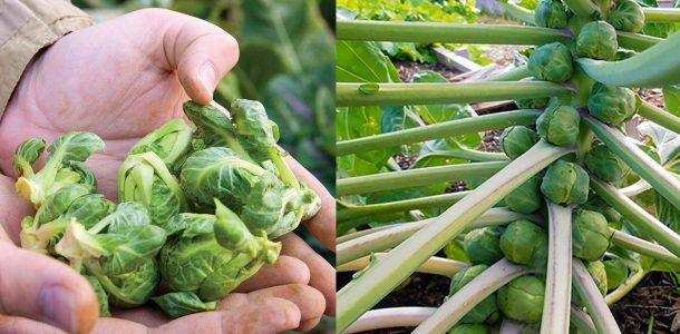 брюссельская капуста выращивание и уход фото
