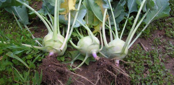 кольраби семенами