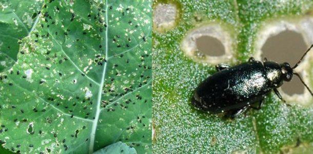 вредители капусты открытом грунте