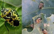 Распространенные вредители капусты и борьба с ними