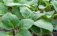 Как подготовить семена баклажанов к посадке на рассаду