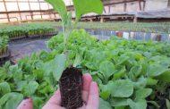 Посадка баклажанов на рассаду: подготовка семян и почвы, посев