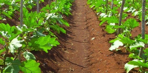 баклажаны способ выращивания