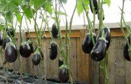 Выращивание и уход за баклажанами в теплице