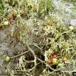 фузариоз растений