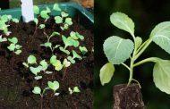 Когда высаживать раннюю капусту на рассаду