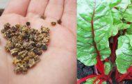 Как правильно вырастить мангольд из семян