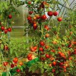 помидор томат фото