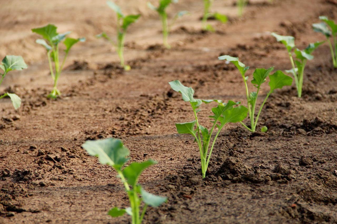 Пекинская капуста – секреты выращивания