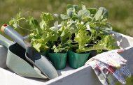 Сроки посева капусты на рассаду: когда лучше сажать
