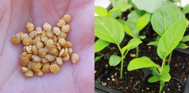 лучшие семена баклажан