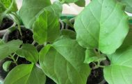 Посев семян баклажанов на рассаду