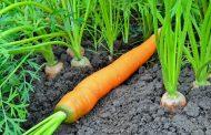 Когда можно сажать морковь: посадка семян под зиму и весной