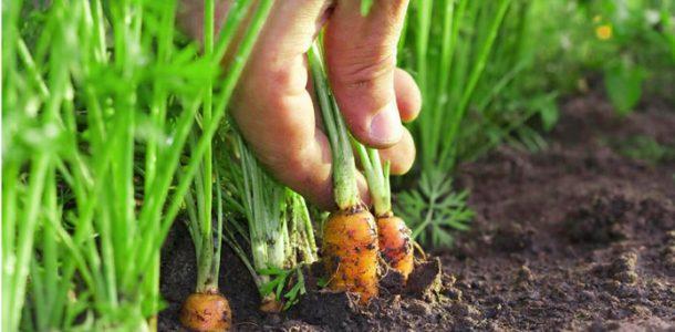 морковь в открытом грунте уход