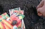 Как правильно сажать морковь