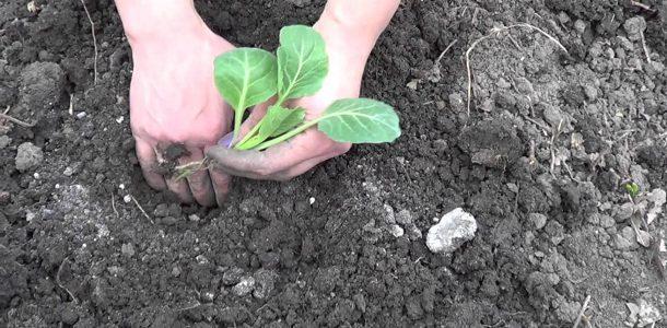 сроки посадки капусты на рассаду