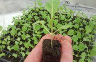 Посадка капусты на рассаду: выбор сорта, посев семян и уход за саженцами