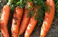 Выбираем сорт семян моркови для открытого грунта