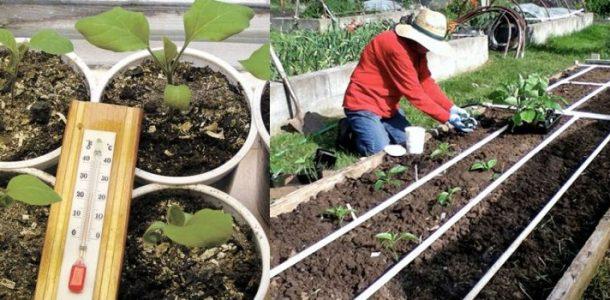 рассада баклажан выращивание