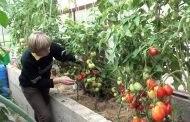 Зимние посевы помидоров в теплице - советы специалистов