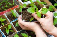 Мы расскажем как ухаживать за рассадой баклажанов, чтобы получить большой урожай!