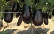 Советы специалистов о том, как прорастить семена баклажанов, для быстрых всходов