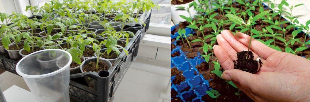 Правильная пикировка рассады томатов