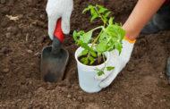 Как правильно произвести посадку рассады помидоров в грунт - инструкция от опытных садоводов