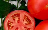 Секреты и техники подготовки семян томатов к посеву на рассаду, подробная пошаговая инструкция. Ваш урожай будет отличным!