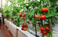 Все тонкости и этапы выращивания рассады томатов на балконе: от семян до богатого урожая!