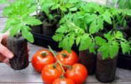 Выбираем оптимальное время для посева помидор. Советы опытных овощеводов